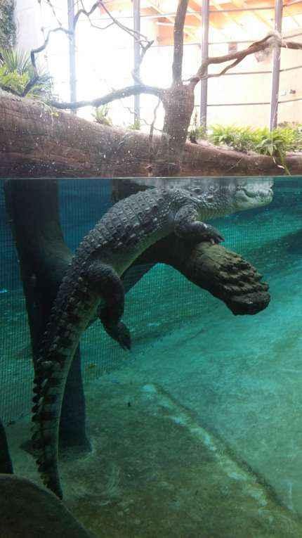Afrykarium krokodyl na sztucznym drzewie