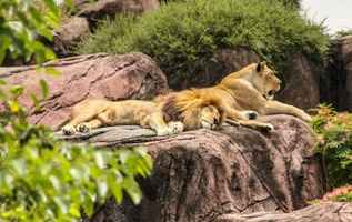 imitacje skalne na wybiegu dla lwów w zoo